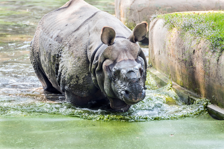 Closup of an indian rhinoceros cooling off in an algae filled canal.