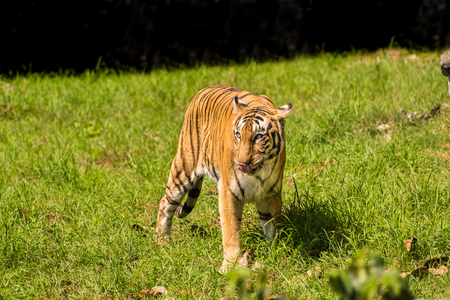 young Royal Bengal Tiger playing in green grassy meadows. Foto de archivo
