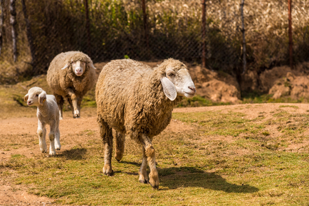 Family of Sheep going for food in a Sheep farm. Stock Photo