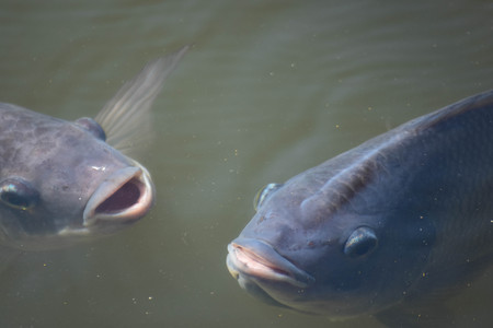 Tilapia in the pond is emerging because of lack of oxygen.