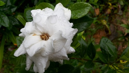 affixed: White jasmine flowers A plaque affixed to the rain White flowers Dark green leaves Planted at home or office. The scent is refreshing Stock Photo