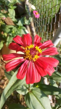 ordelijk: Rode Zinnia met gele meeldraden en het schiereiland is een mooie bloem. De bloemblaadjes gelijkmatig geordende