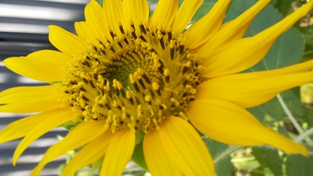 yellow stamens: Yellow sunflowers bloom petals and yellow stamens black long.