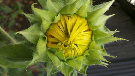pubescent: Sun flower bud