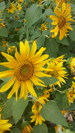 full filled: Sunflower garden filled with yellow gold. Each race bloom beautiful flowers in full bloom.
