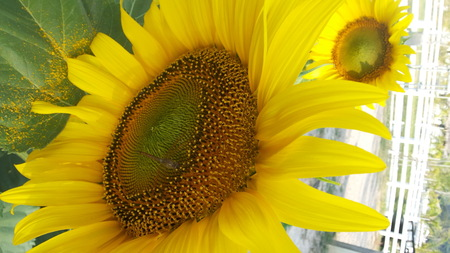 abloom: Sunflower full bloom