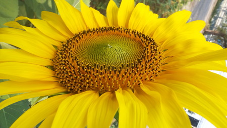 abloom: blooming sunflower