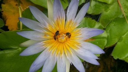 stamen wasp: Purple Lotus Stock Photo
