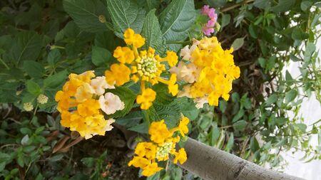 lantana: Yellow Lantana Garden Stock Photo