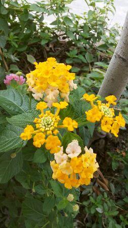 lantana: Yellow Lantana Stock Photo