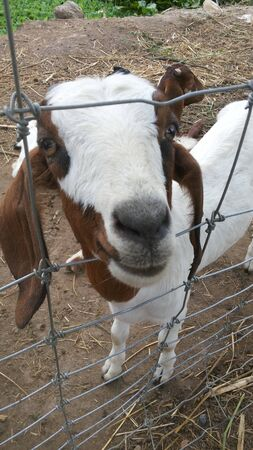 brown goat: white and brown Goat in stables