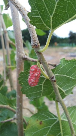 nourish: Mulberry Plant