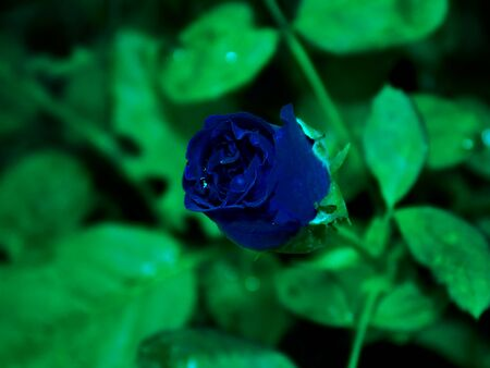 Beautiful Blue rose. Decent flower in the garden always. Deep blue color provide relaxing eyes when saw in the garden because It's Look always different and very beautiful.