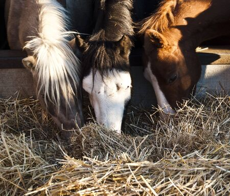 ponies: Horses eating hay