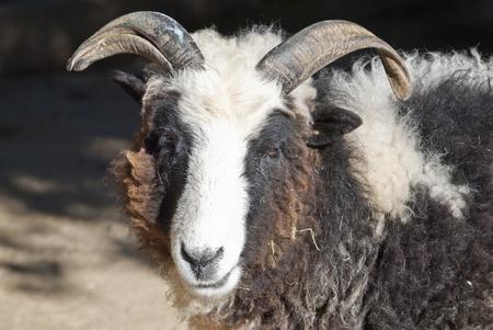 cameroon: Cameroon goat Stock Photo