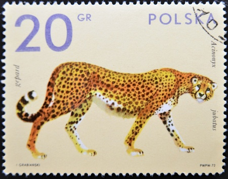 POLAND - CIRCA 1972: A stamp printed in Poland shows a cheetah, circa 1972  photo