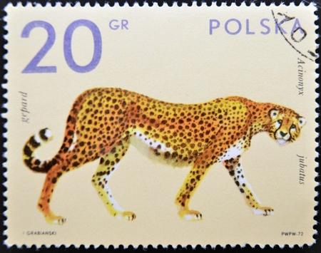 POLAND - CIRCA 1972: A stamp printed in Poland shows a cheetah, circa 1972 Stock Photo - 11099045