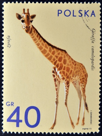 POLAND - CIRCA 1972  A stamp printed in Poland shows giraffe, circa 1972