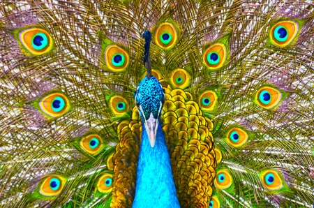 Peacock showing its feathers  photo