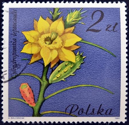 philatelic: POLAND - CIRCA 1981  A stamp shows Cylindropuntia leptocaulis, circa 1981  Stock Photo