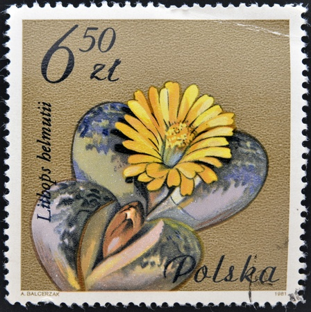 POLAND - CIRCA 1981  A Stamp printed in Poland  shows Lithops helmuti, circa 1981  Stock Photo - 12965838