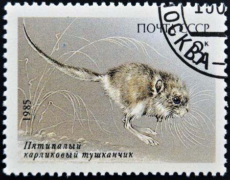USSR - CIRCA 1985  A Stamp printed in Russia shows a image of a Endangered Animal With The inscription  Cardiocranius paradoxus , circa 1985 photo