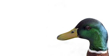 mallard on white background with copyspace photo