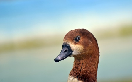 Egyptian goose photo