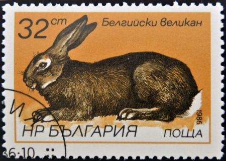 flemish: BULGARIA - CIRCA 1986: A stamp printed in Bulgaria shows Flemish Giant - Flanders, circa 1986