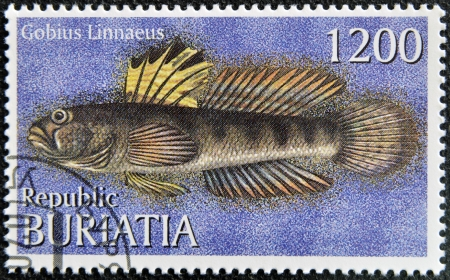 buryatia: BURYATIA - CIRCA 1997: A stamp printed in Buryatia shows Gobius Linnaeus, circa 1997  Stock Photo