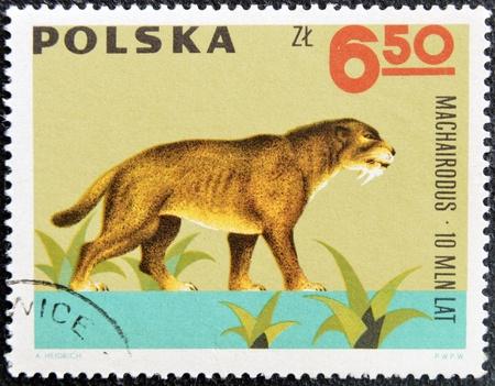 circa: POLAND - CIRCA 1966  A stamp printed in Poland shows Machairodus from the series  Dinosaurs, Prehistoric Vertebrates, circa 1966