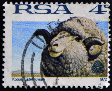 wolly: REPUBLIC OF SOUTH AFRICA - CIRCA 1972: A stamp printed in Republic of South Africa shows image of Sheep, Kobus Esterhuysen, circa 1972