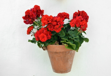 clay pot: potted geranium on the wall, Andalusia Stock Photo