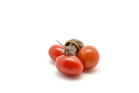 snail on cherry tomatoes photo