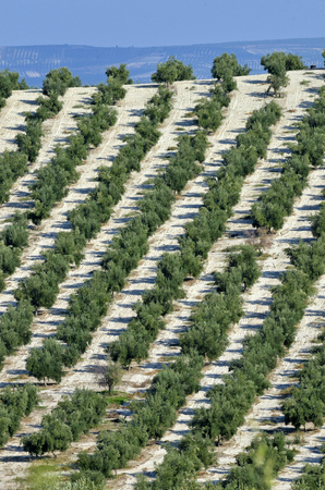 rows of olives in Andalusia photo
