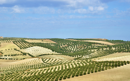 field of olive trees in Andalusia photo