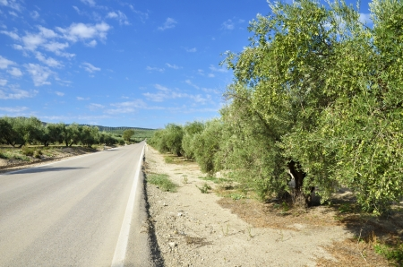Rural road between olive trees in andalucia  photo