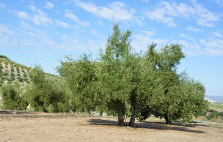 olive groves in Jaen, andalucia photo