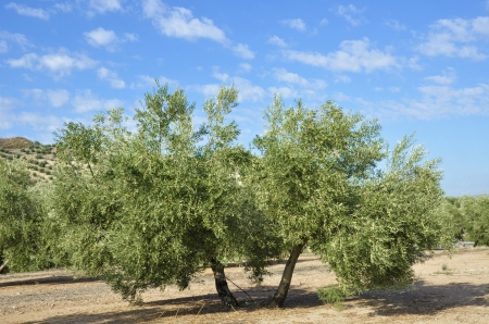 olive groves in Andalucia photo