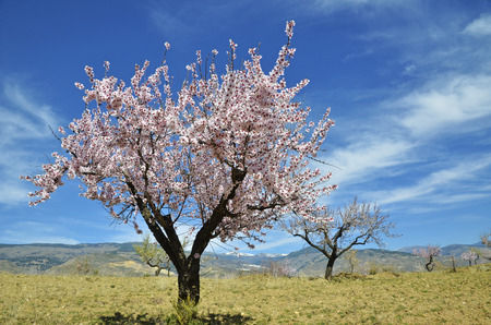 Field of almond blossoms photo