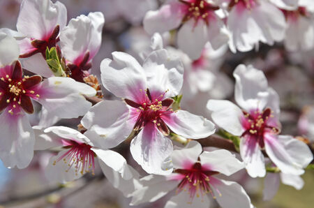 almond tree: Almond flowers