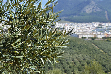 Olive tree and Rute village in the background photo