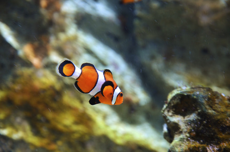 reef fish , clown fish or anemone fish photo