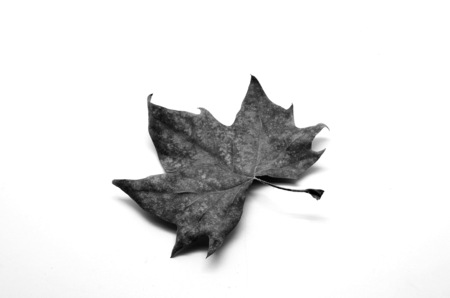 dry leaf: Dry leaf isolated