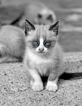 laughable: kitten with blue eyes