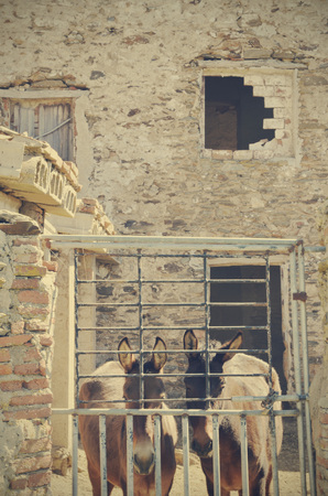 house donkey: mules in the abandoned house