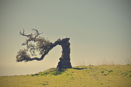 old cork oak photo
