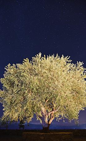 starry night: Olive illuminated Starry Night
