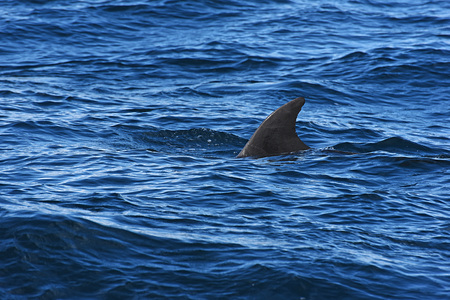bottlenose: bottlenose dolphin. Picture taken from whale watching cruise in Strait of Gibraltar