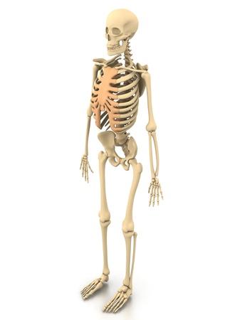 spine x ray: Human skeleton Stock Photo